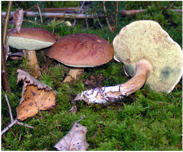 Польский гриб грибы съедобные грибы